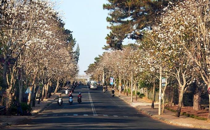 Thú vị hai con đường ngắm hoa ban trắng ở Đà Lạt dịp Tết Dương lịch