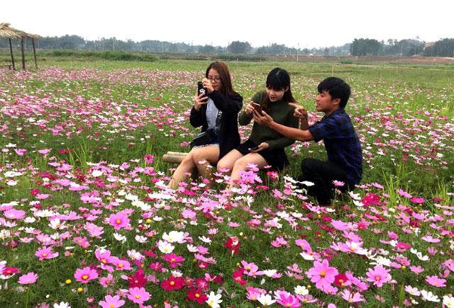 Rực rỡ cánh đồng hoa bên cầu Bách Lẫm (Yên Bái)