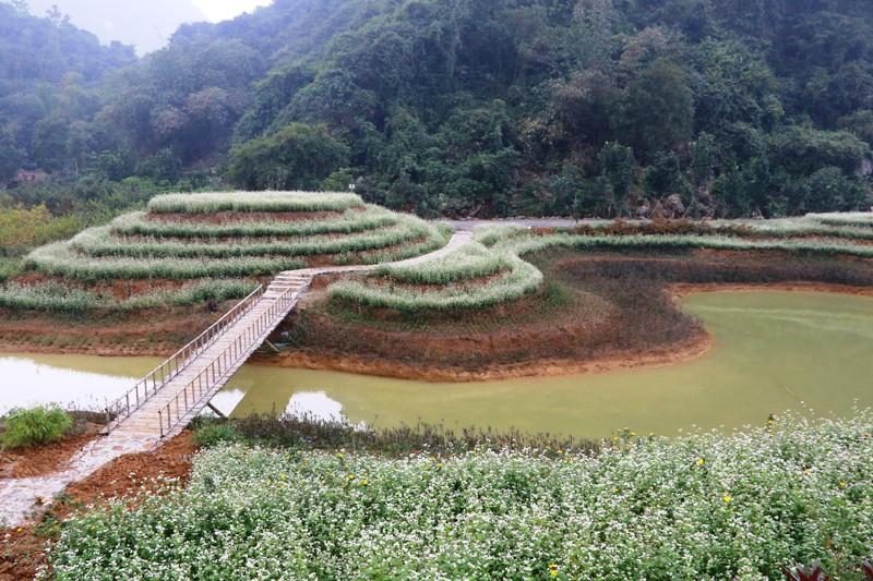 Chiêm ngưỡng vườn tam giác mạch khoe sắc ở di sản Tràng An