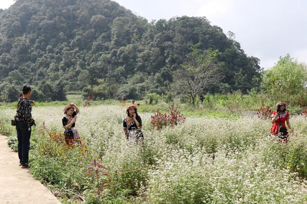 Quản Bạ hoàn thành trồng hoa Tam giác mạch