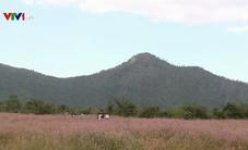 Quyến rũ cánh đồng hoa Dền Cát – Phú Yên