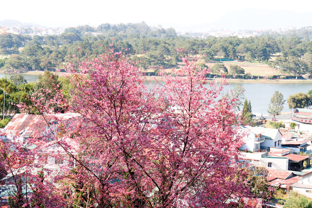 Xuân về hoa anh đào Đà Lạt mời gọi bước chân du khách