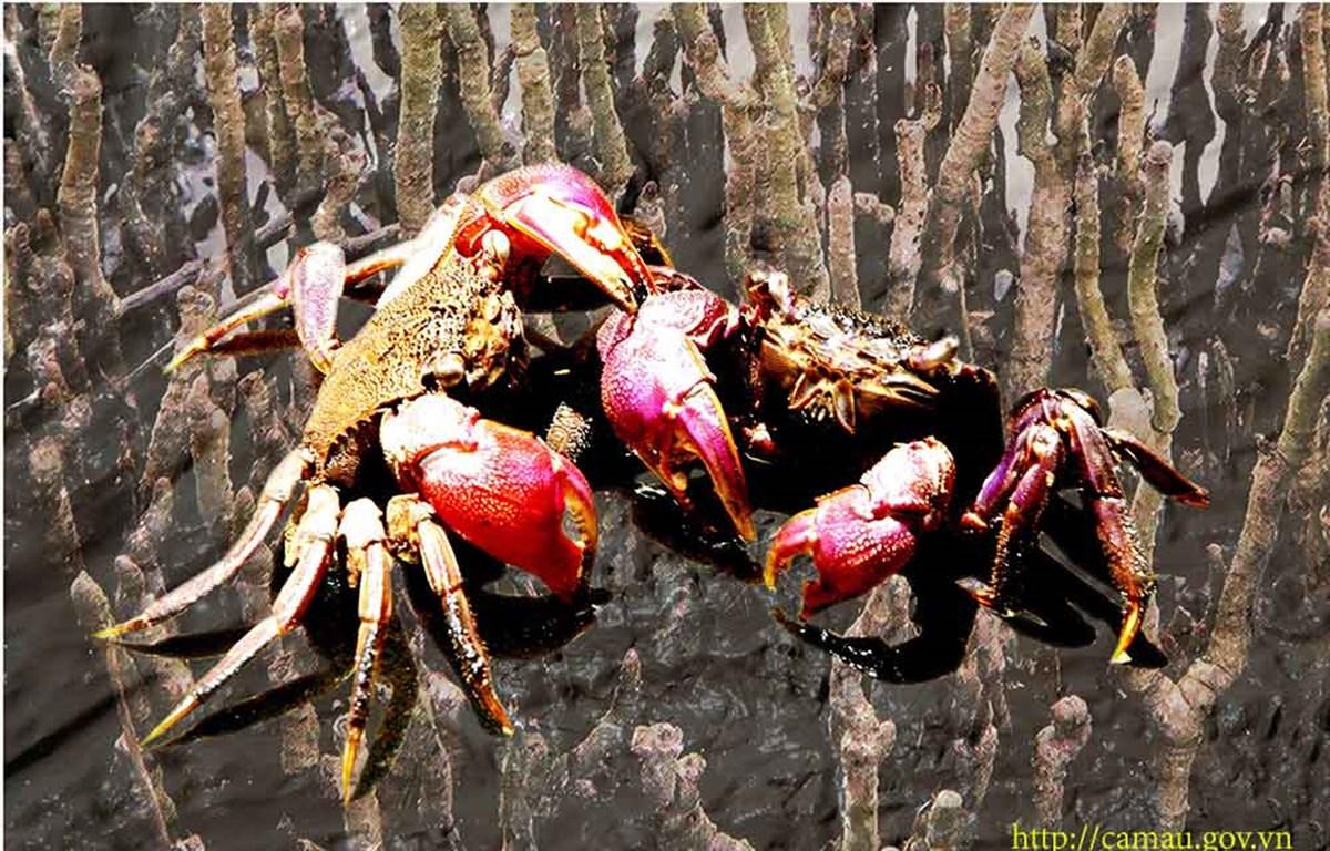 Cà Mau: Nghề muối ba khía và gác kèo ong thành Di sản văn hóa