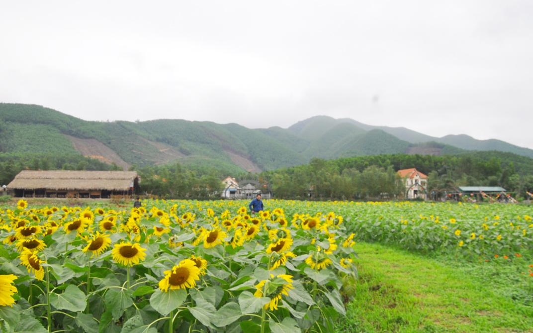 Lạc bước trên cánh đồng hoa hướng dương Quảng La (Hoành Bồ)