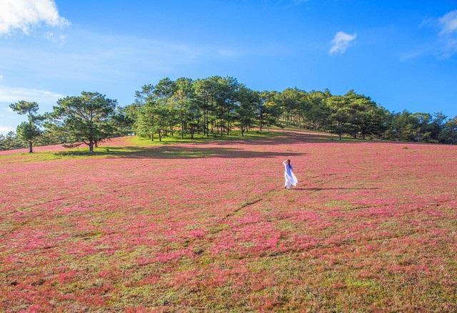 Lâm Đồng: Dừng tổ chức mùa hội cỏ hồng Langbiang 2020
