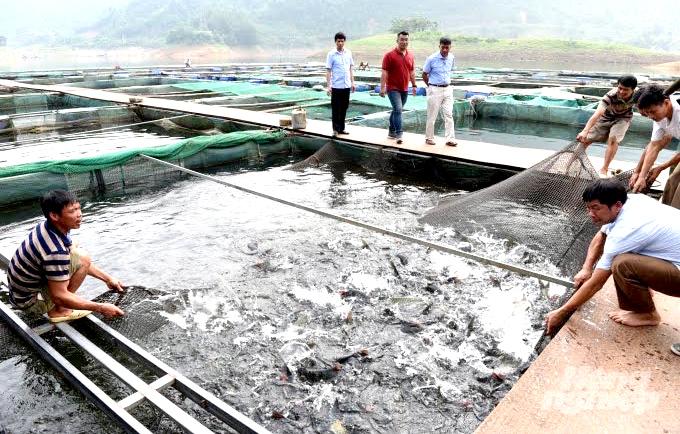 Tuyên Quang: Đặc sản cá Bỗng