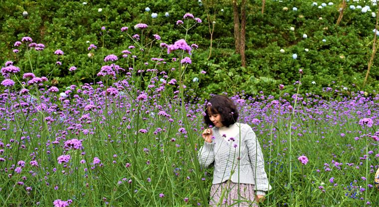 Hoa tím trải dài trên F- Cánh đồng hoa Đà Lạt