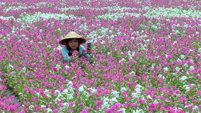 Đồng Tháp: Lai Vung rực rỡ với cánh đồng hoa dừa cạn