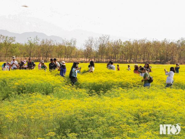Khám phá cánh đồng hoa Thì là ở Ninh Thuận