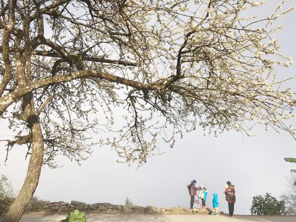 Đến Lào Cai khám phá mùa hoa nở trắng rừng