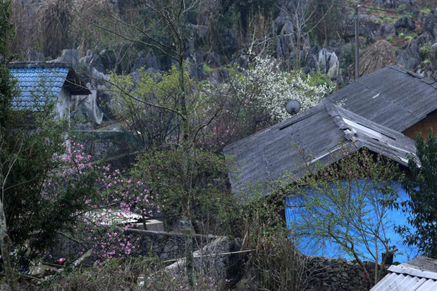 Đi Hà Giang ngắm hoa mận, đào nơi Lao Xa trong trẻo