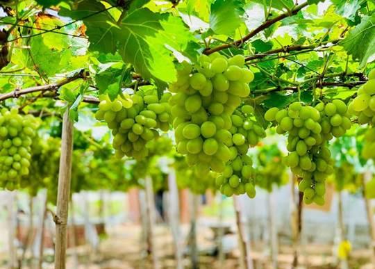 """Ninh Thuận: Những """"chum ngọc"""" tinh hoa miền đất nắng"""