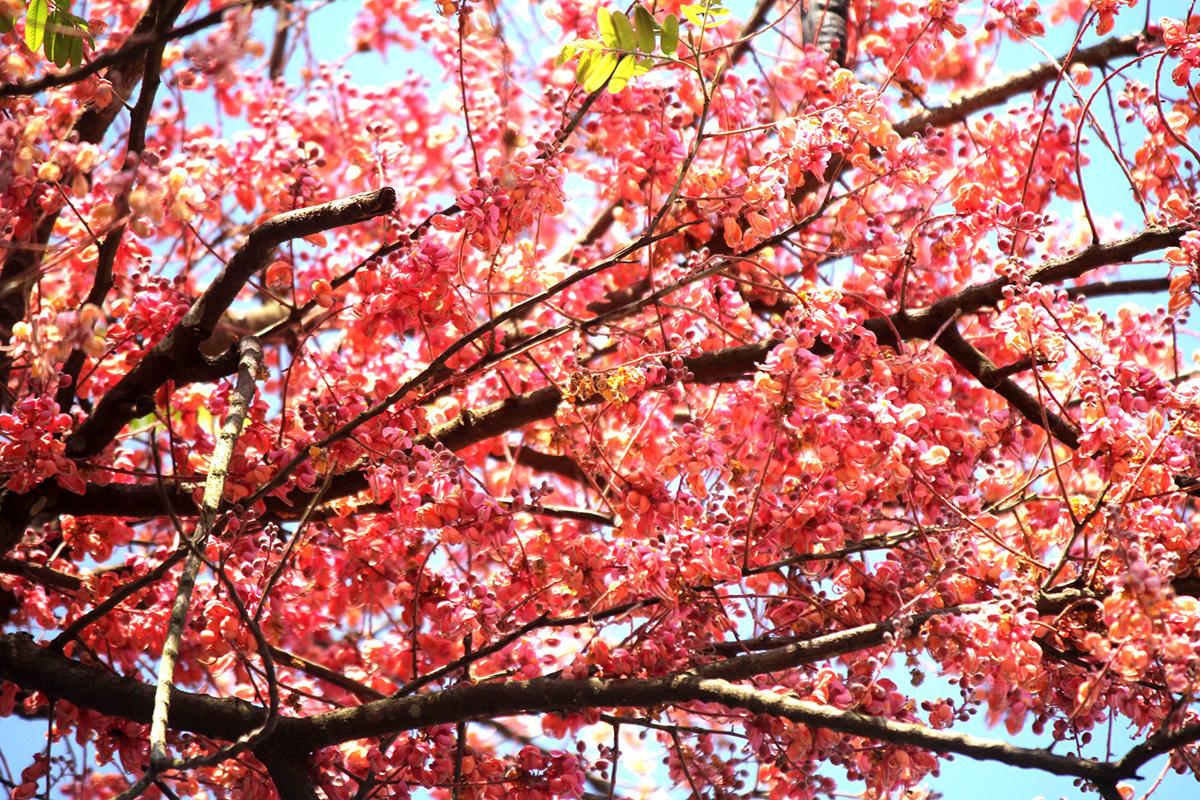 Miền Tây rực rỡ mùa hoa ô môi