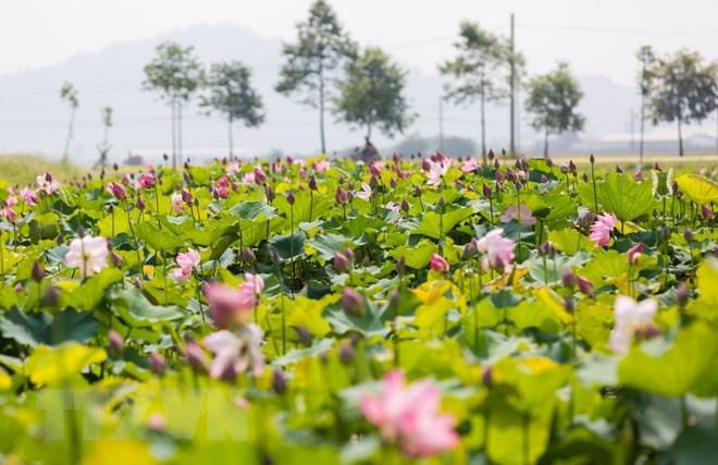 Ao Sen - điểm nhấn văn hóa du lịch trên quê hương Chủ tịch Hồ Chí Minh