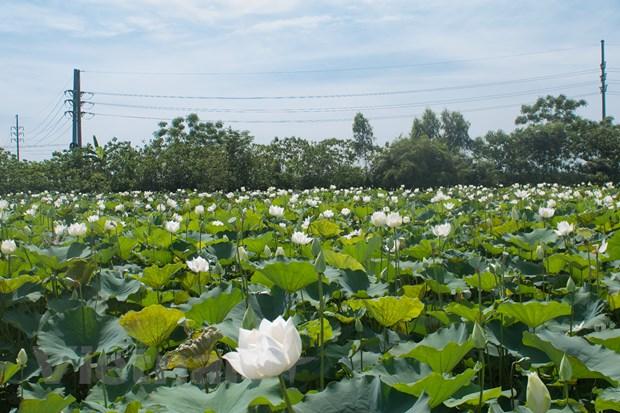 Ngẩn ngơ với vẻ đẹp tinh khôi của đầm sen trắng ở ngoại thành Hà Nội