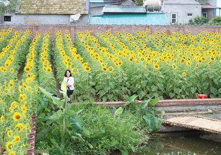 Rực rỡ những vườn hoa hướng dương ở Ninh Bình