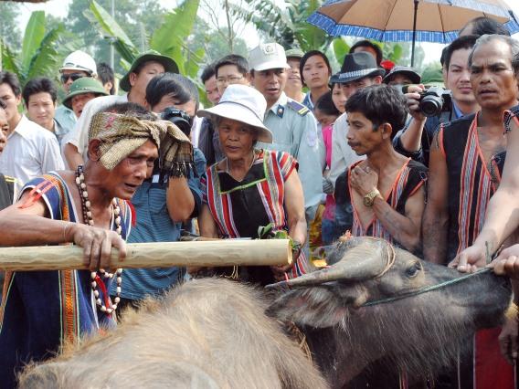 Con trâu trong văn hóa các cộng đồng bản địa Tây Nguyên