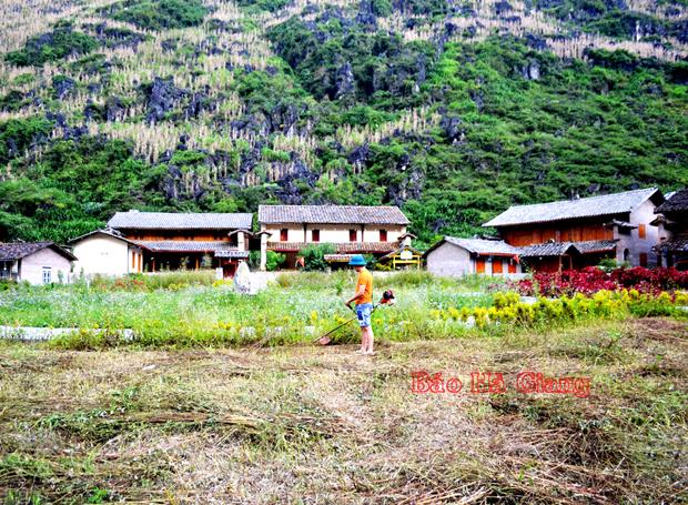 Huyện Mèo Vạc (Hà Giang): Phát triển bền vững thương hiệu hoa Tam giác mạch