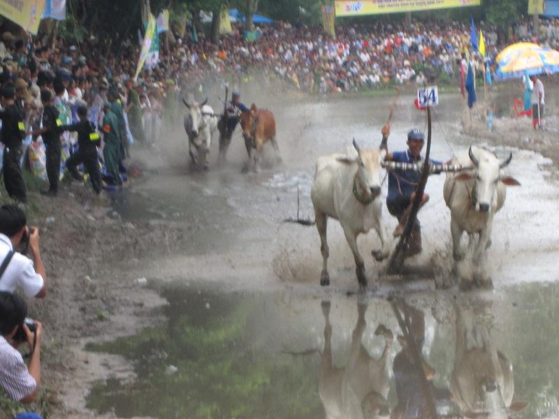 An Giang không tổ chức Hội đua bò Bảy Núi