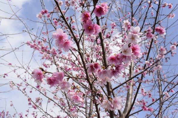 Điện Biên: Hơn 1.500 cây hoa Anh Đào Sakura, Nhật Bản đang bung mình khoe sắc trên đảo Pá Khoang