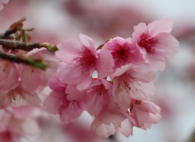 Chiêm ngưỡng vẻ đẹp yêu kiều, rực rỡ của hoa Anh đào Pá Khoang, Điện Biên