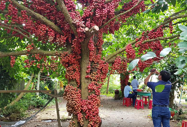 Phú Yên: Lỡ hẹn mùa đỏ chín trên cao nguyên Vân Hòa