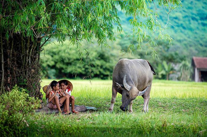 Con trâu trong đời sống nông dân Việt Nam