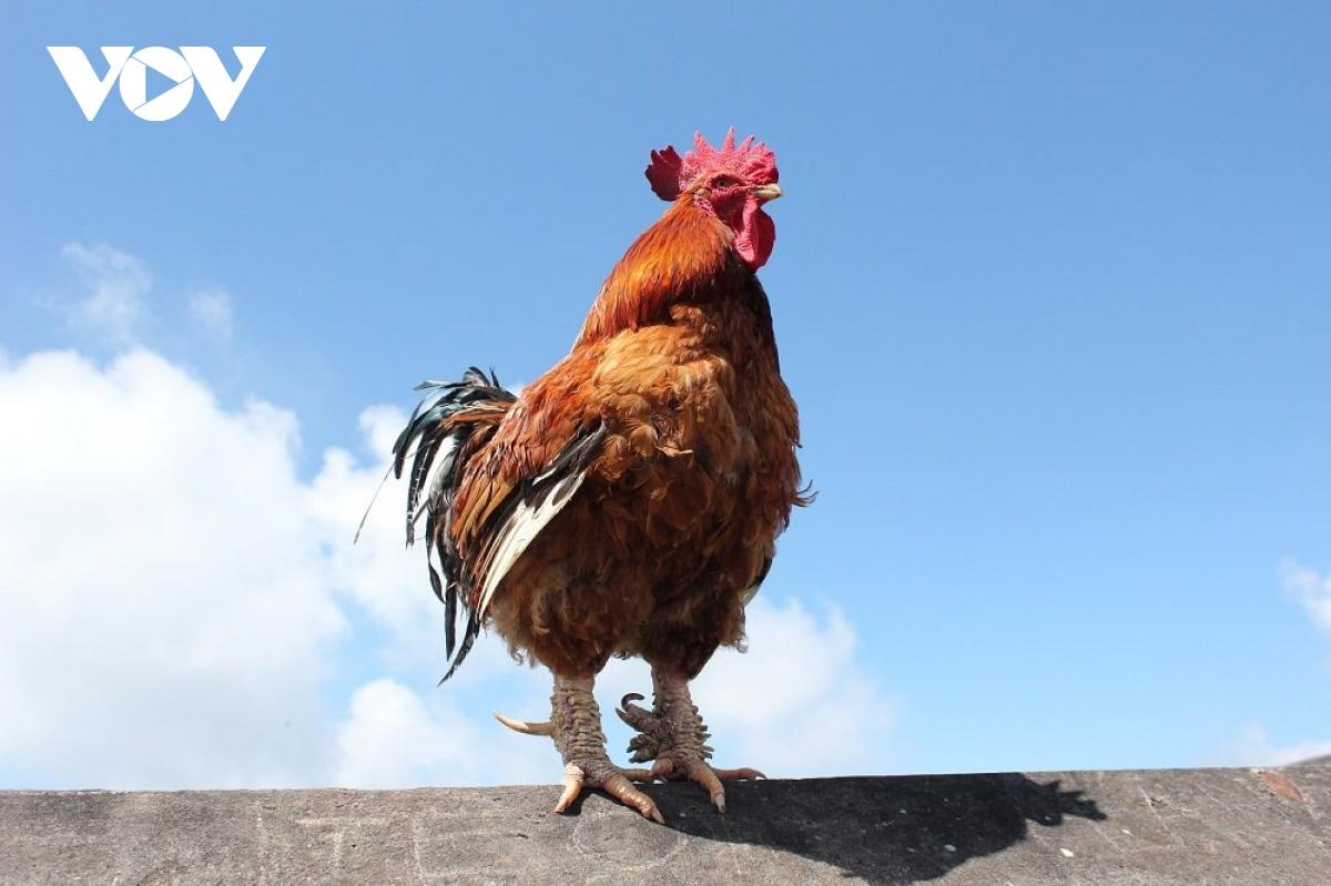 Lên Mẫu Sơn thưởng thức gà sáu cựa