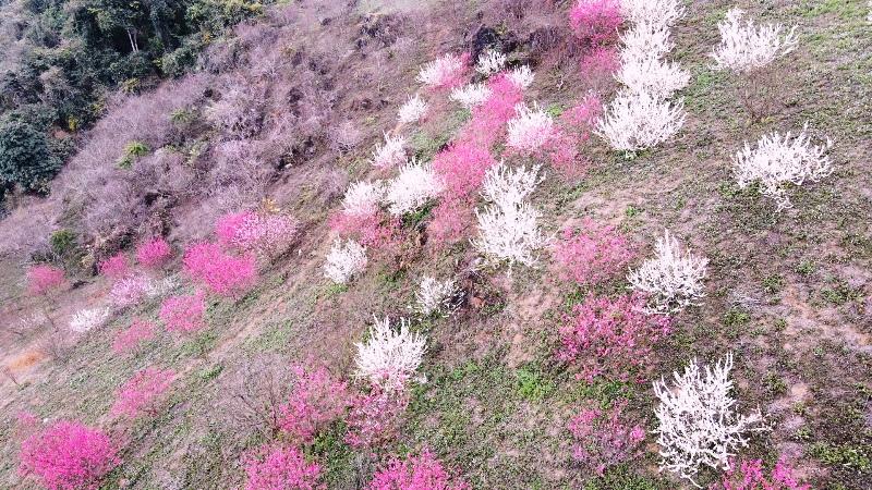 Bung nở hoa xuân trên rẻo cao Bắc Kạn