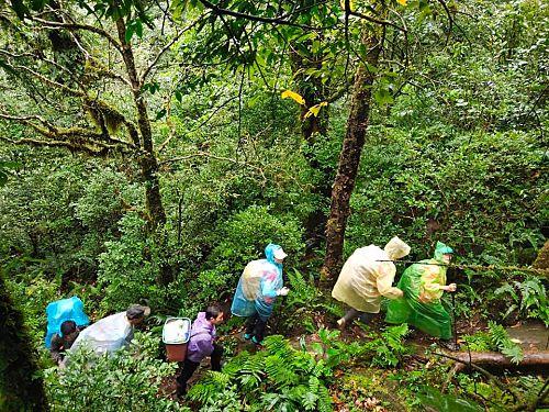 Khám phá rừng chè cổ thụ Tả Liên Sơn ở Lai Châu