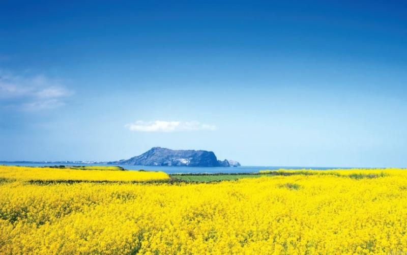 Chạy trực tuyến khám phá mùa xuân Jeju (Hàn Quốc)