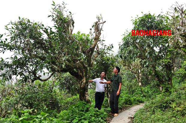 Về vùng chè Shan tuyết Chu Thượng – Hà Giang