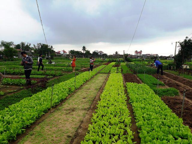Hội An: Gắn phát triển du lịch với sản xuất nông nghiệp