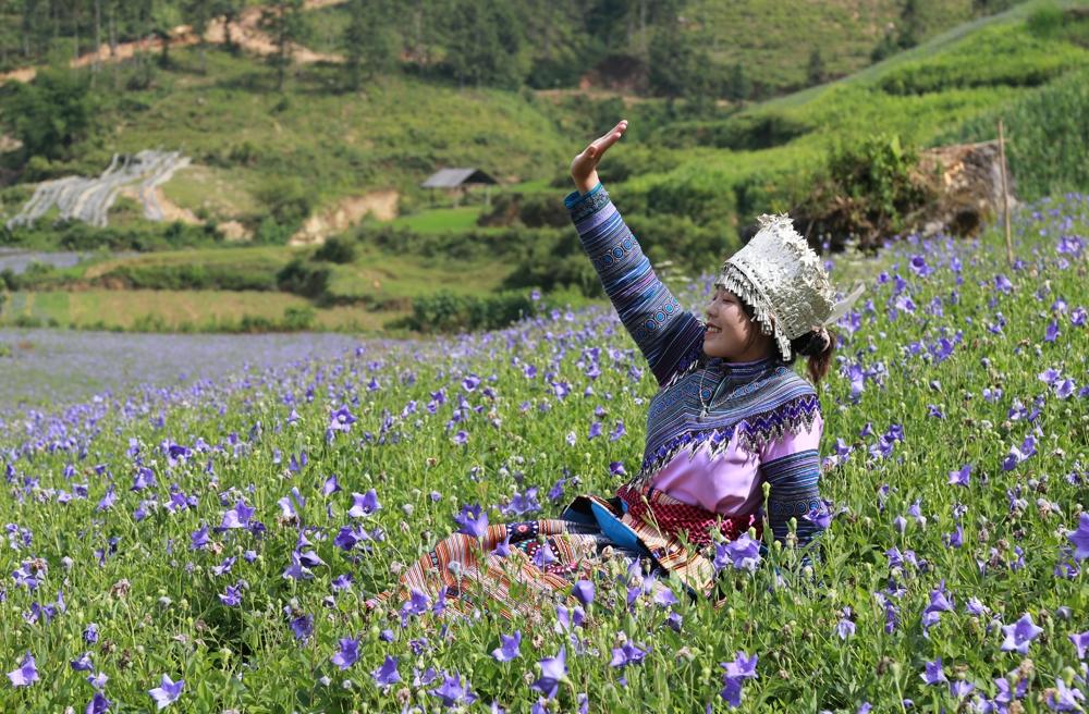Lào Cai: Đẹp nao lòng sắc tím hoa cát cánh