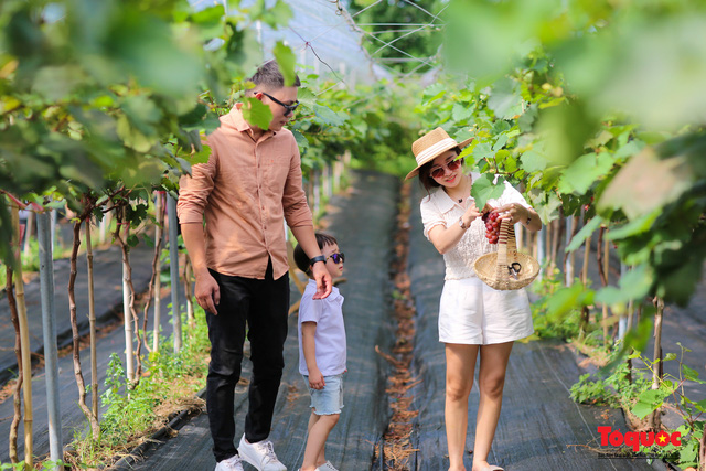Không cần đi Ninh Thuận, ngay thủ đô Hà Nội cũng có một nông trại nho trĩu quả thu hút du khách khám phá