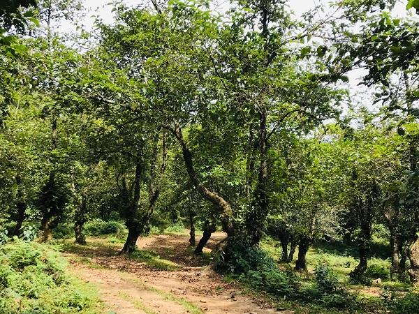 Lào Cai: Những rừng cây kỳ bí