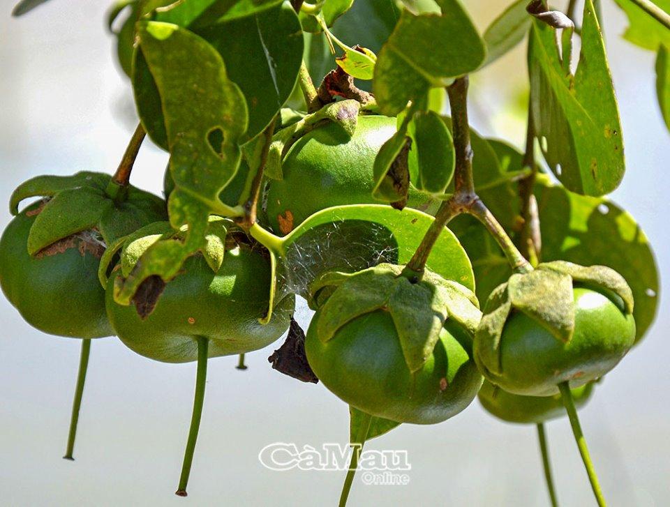 Cà Mau: Ðặc sản trái quê