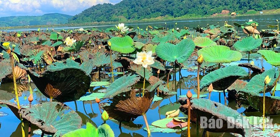 Đắk Lắk: Sen cuối mùa giữa lòng hồ Ea R'bin
