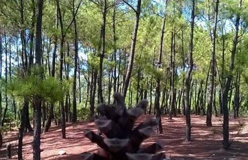 Quyến rũ rừng thông Bồ Bồ, Quảng Nam